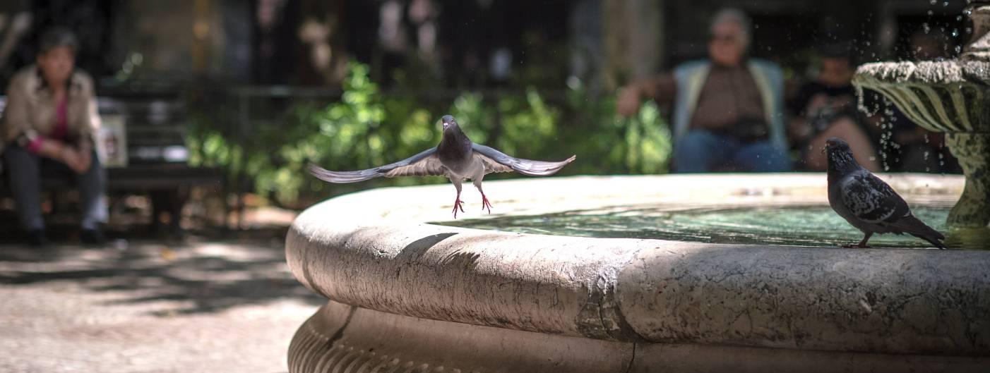 City pigeon1.jpg